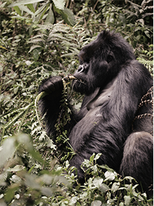 Work with the Dian Fossey Gorilla Fund